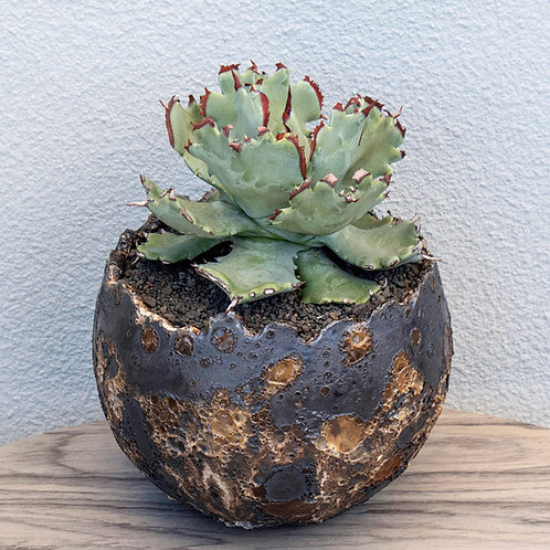 Agave Isthmensis Selected
