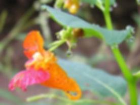 Jewelweedplant.jpg