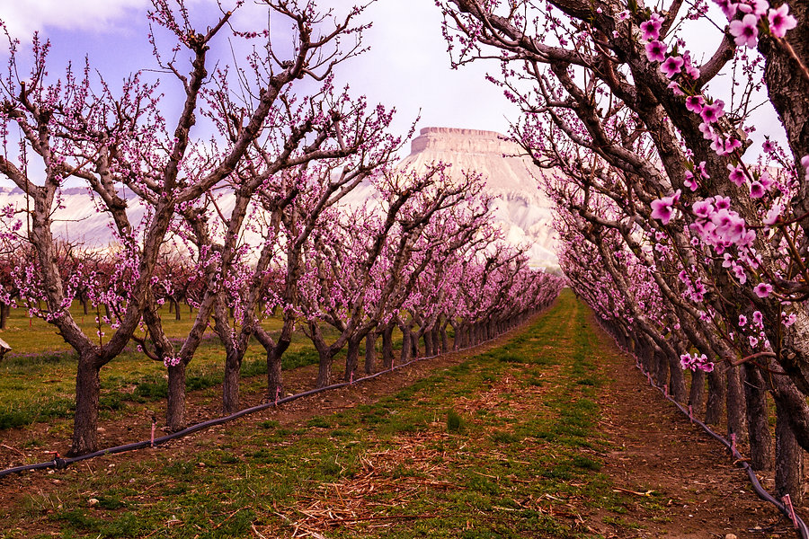 Palisade Peach Orchard in Spring.jpg
