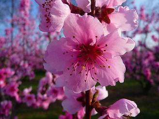 Peach blossoms eff6e3f86d4220d7421cb3be3
