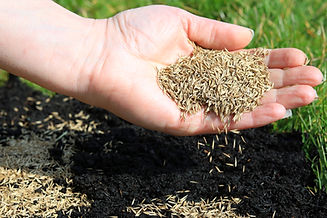 Spreading Grass Seed By Hand For The Per