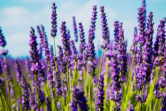 Lavender%20Field_edited.jpg