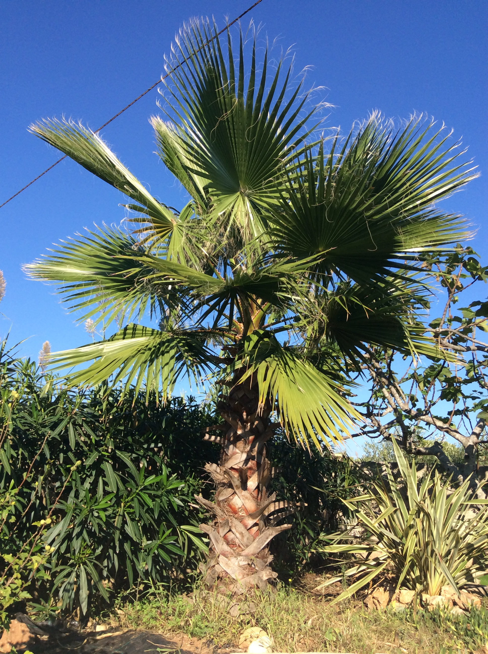 Drei Palmen im Wind