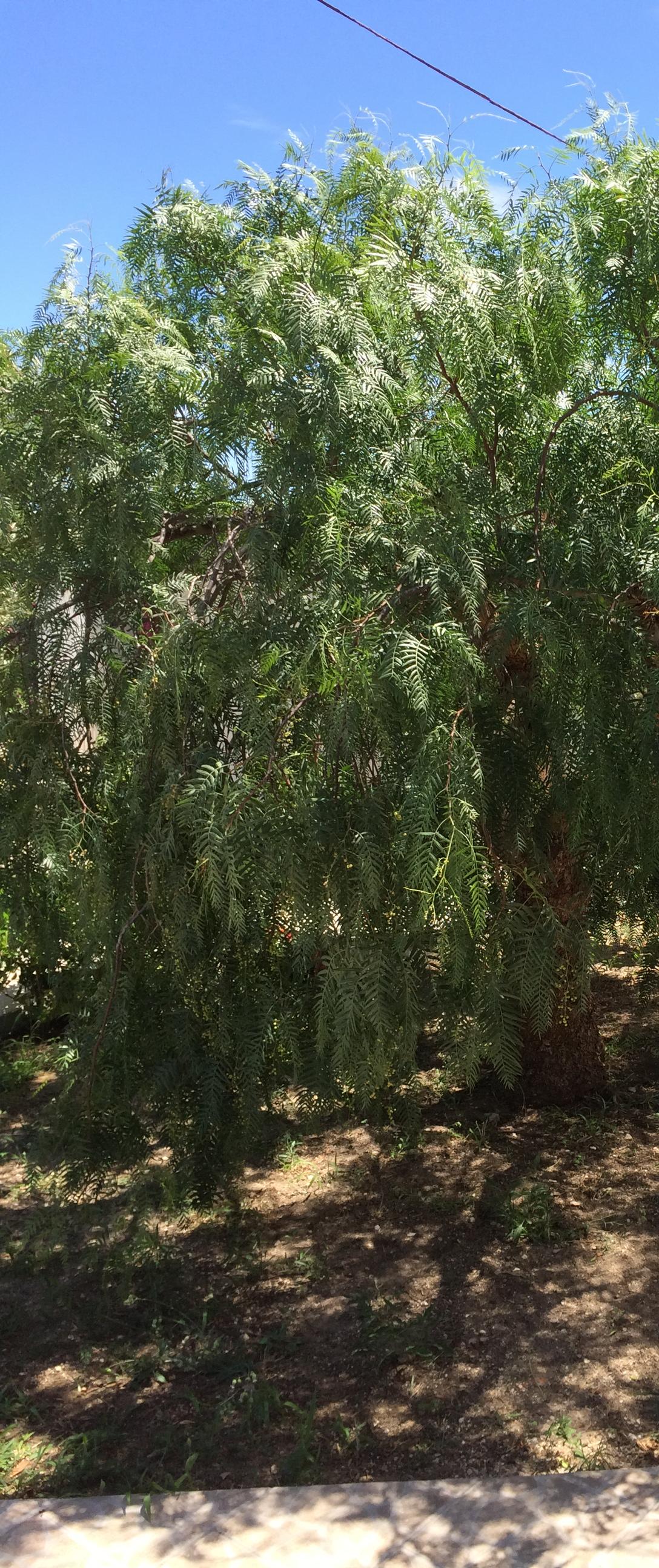 Der Pfefferbaum