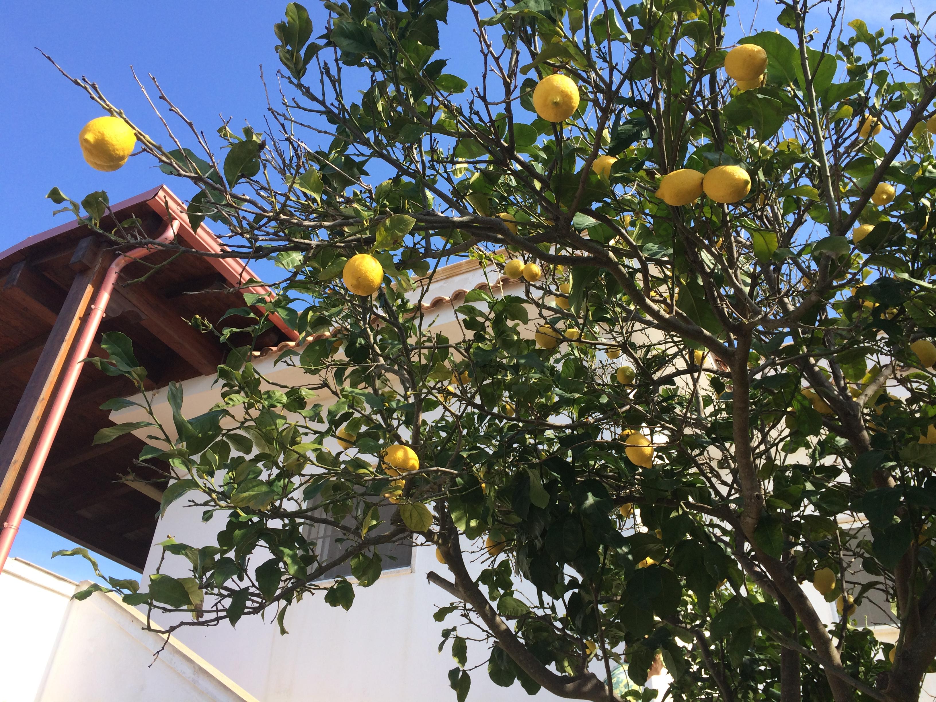 Im Land der Zitronen