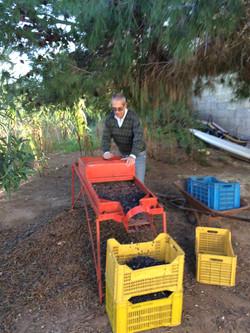 Olivenernte im Kleinen