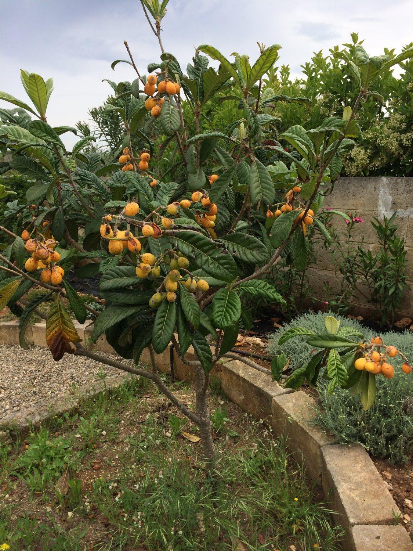 Die Nespole (Mispelbaum)