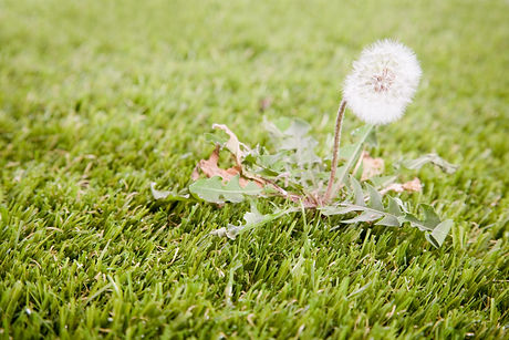 A close up of a weed growing in the lawn