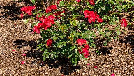 Brown bark mulch covering flower bed wit