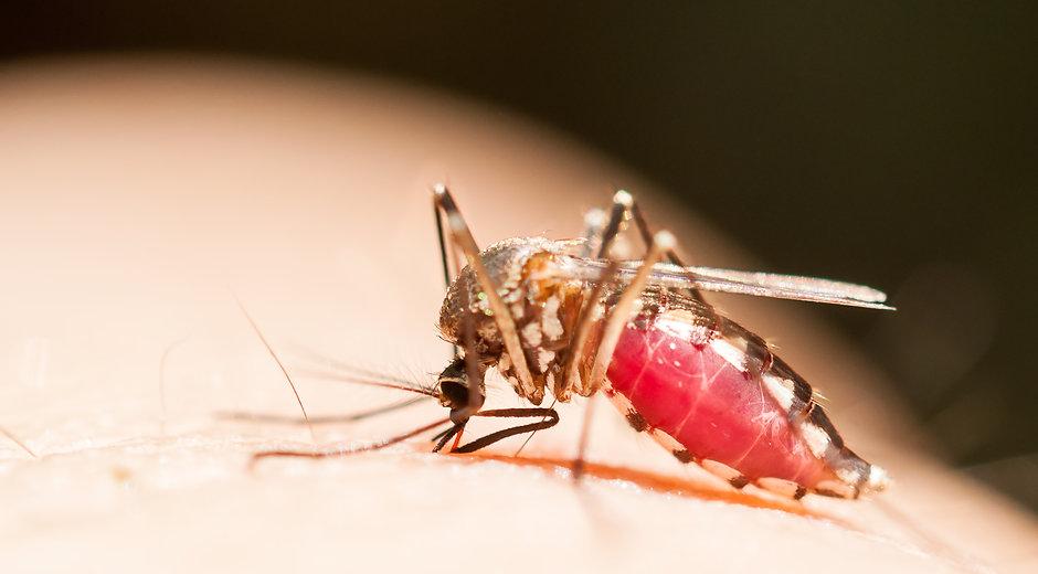 close-up of mosquito (Aedes) sucking blo