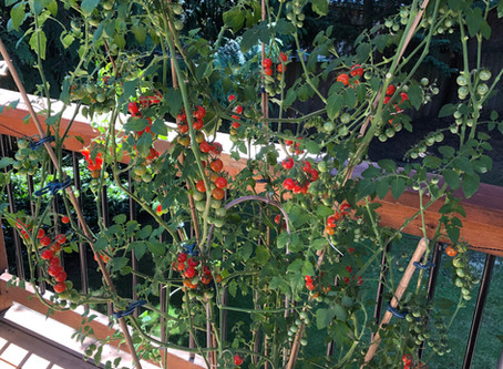 Reiki for Tomatoes!!   (?!?)
