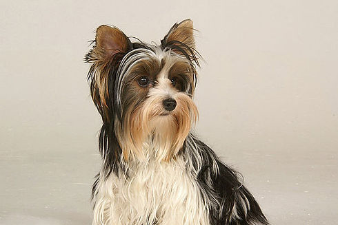Biewer-Terrier-Miller-Sye-Category-Photo