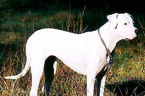 Dogo-Argentino-Category-Photo.jpg