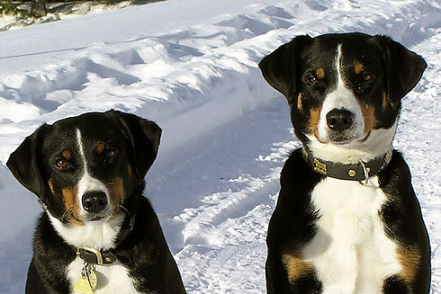 Appenzeller-Sennenhund-Category-Photo.jp