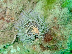 anemone and crab