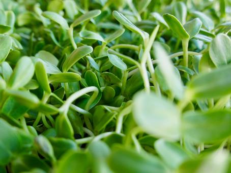 Varför mikrogrönt hamnar högt på listan över populära hälsotrender för 2021