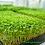 Thumbnail: Broccoliskott 35g