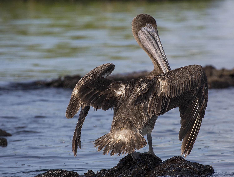 Pelicano secandose web