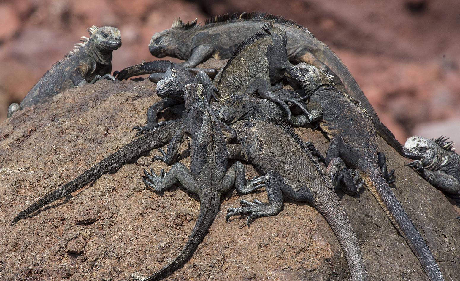 Iguanas Marinas web