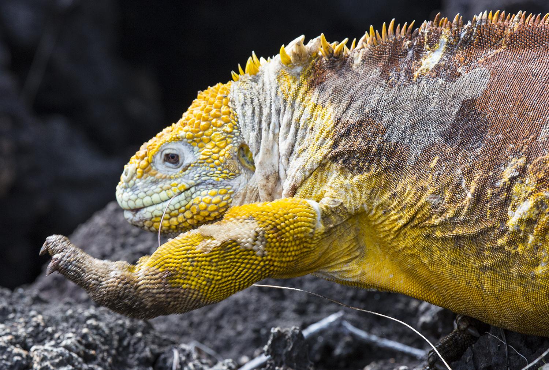 Iguana Caminando web