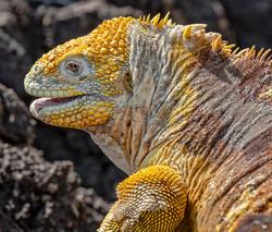 Iguana amarilla copia web