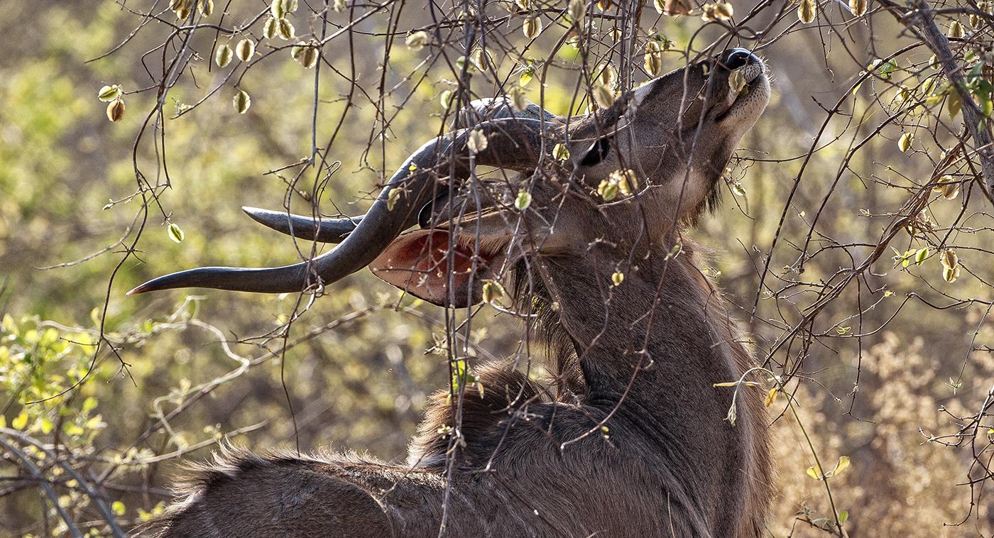 Kudu Comiendo