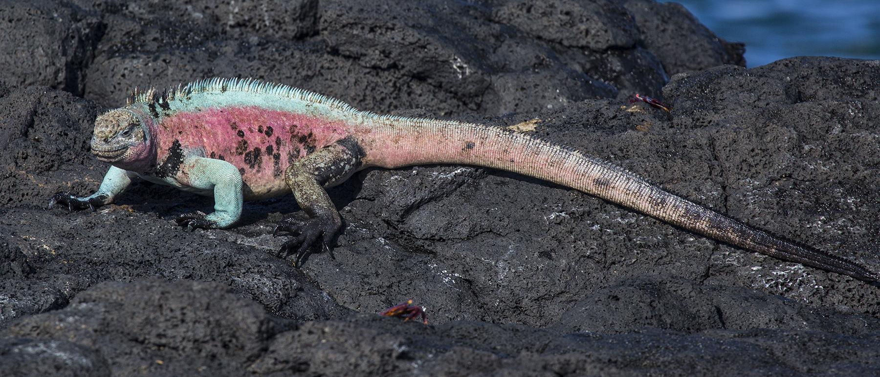 Iguana azul5 web