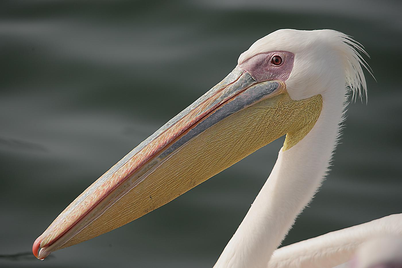 Pelicano Africano
