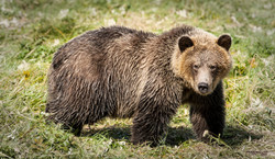 Grizzly 5 web