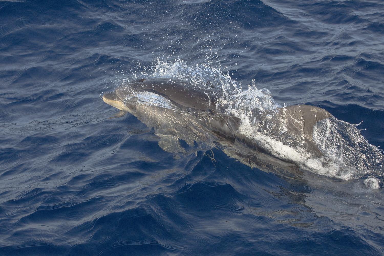 Delfin brincando web