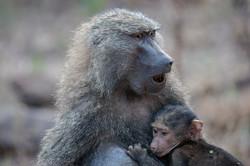 Baboon con Bebe