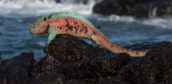 Iguana azul6 web