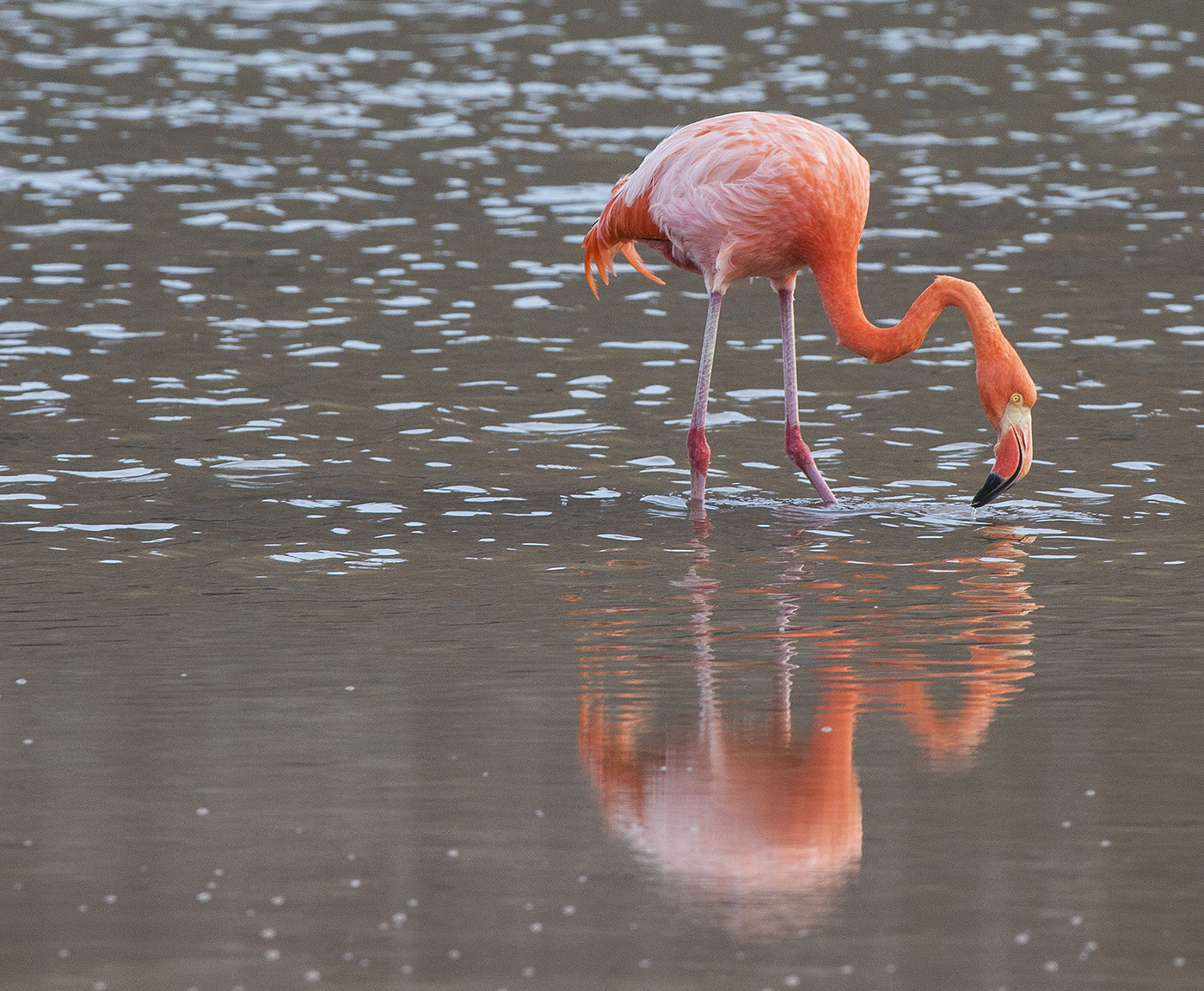 Flamingo solo web