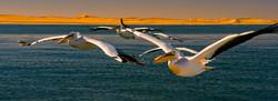 Pelicanos Africanos