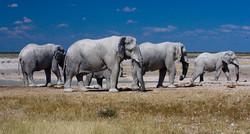 Elefantes en linea