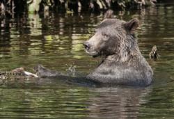 Grizzly Pescando