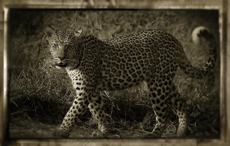 Leopardo 2 WB web
