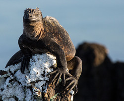 Iguana marina1 web