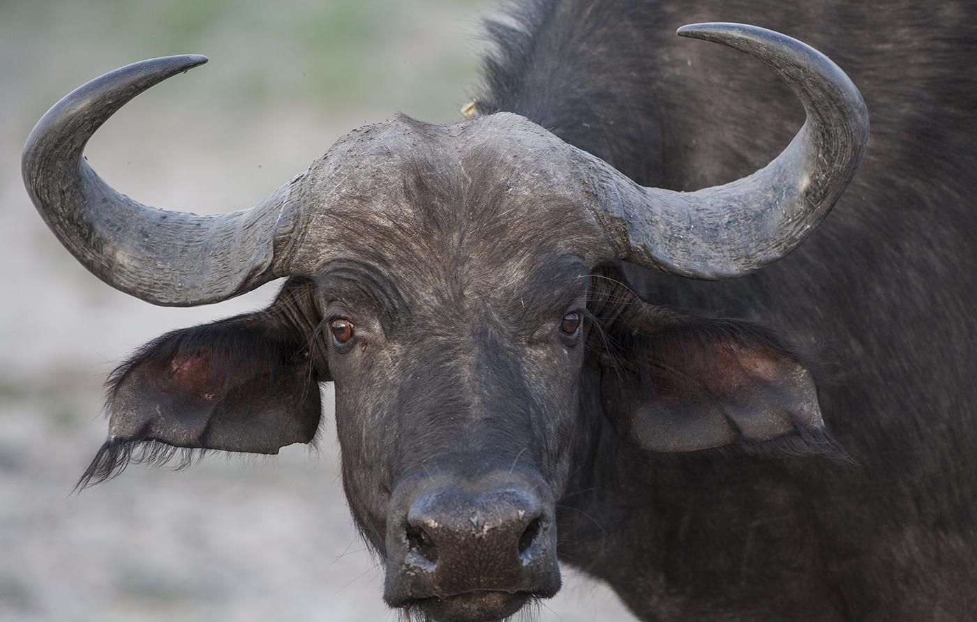 Bufalo Cafre