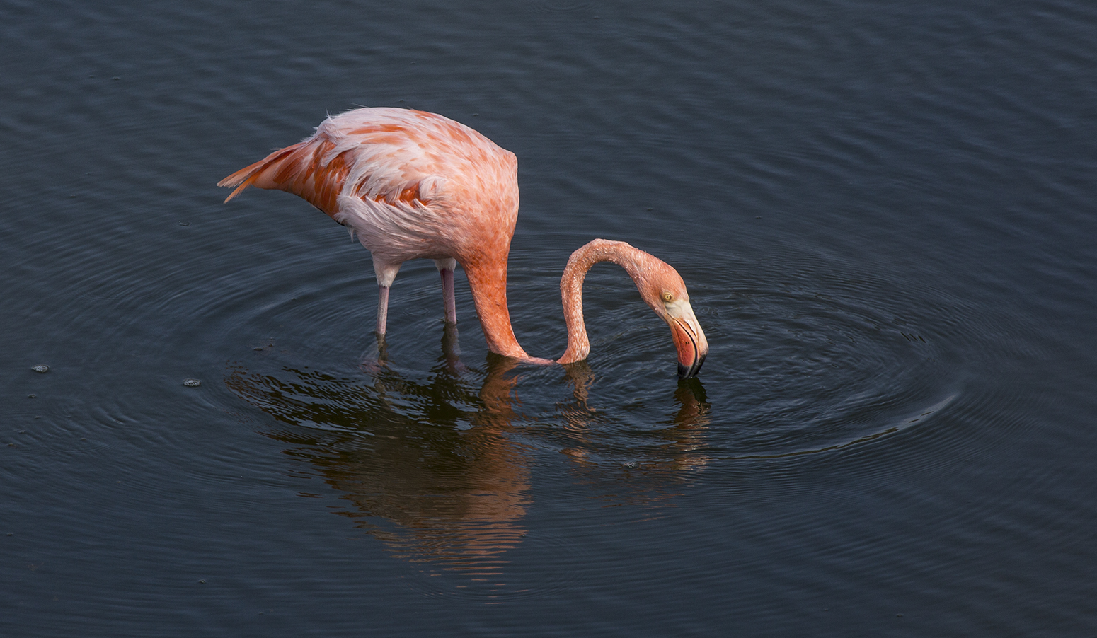 Flamingo comiendo web