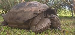 Tortuga Galapagos R web