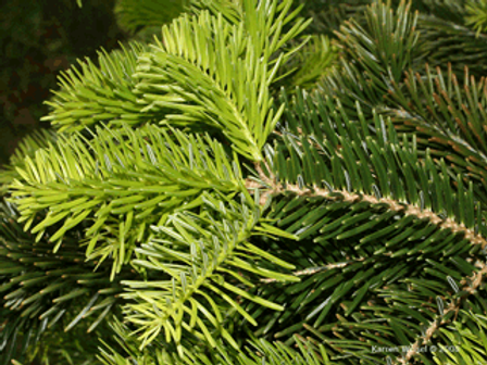 Fir Needle East Asia