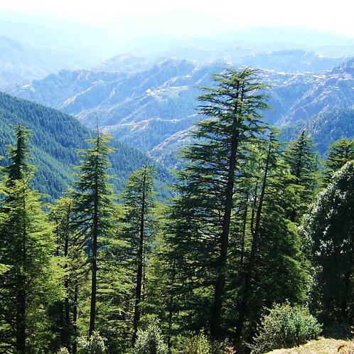 Cedarwood Himalayan