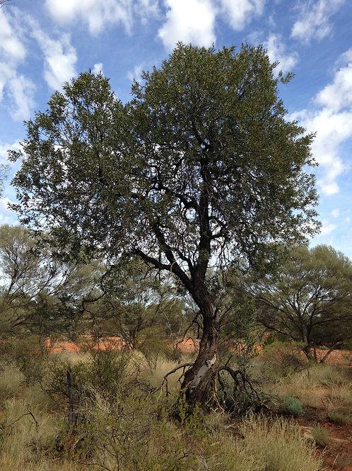 Sandalwood Australia
