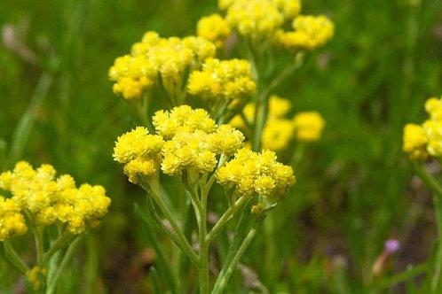 Helichrysum Balkan