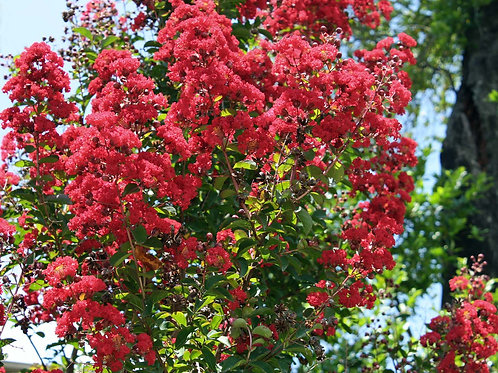 Myrtle Red