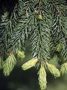 Spruce Needle  - Black