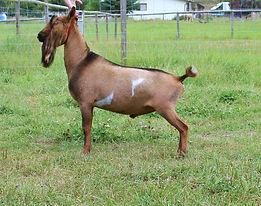 Goats 051.JPG