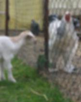 animal_goat_chiken.JPG