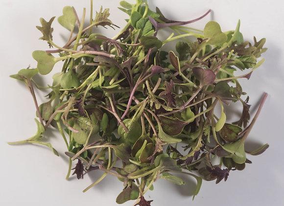 Kale (Boerenkool) Microgreens